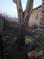 خریدار انواع درخت چنار توت تبریزی قاراقاج وهرس