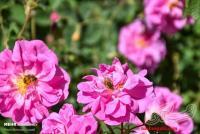 گل و گلاب ناب قمصر