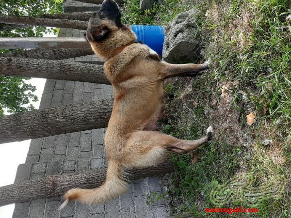 توله سگ سرابی