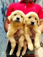 فروش ویژه بیش از 30 قلاده سگ گلدن رتریور اصیل